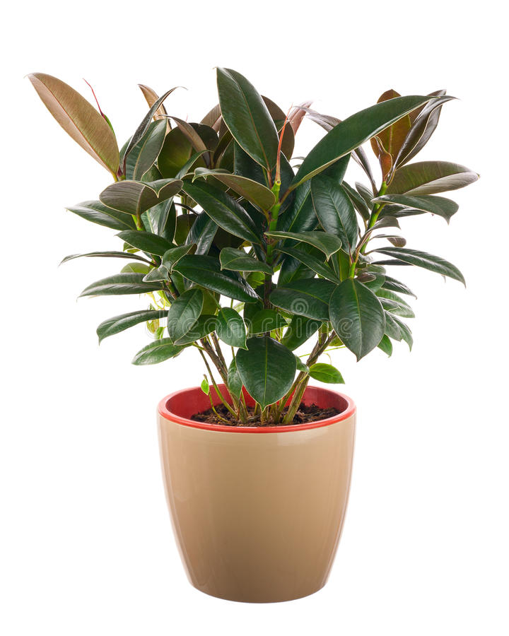 Elastica do ficus (Bush de borracha indiano) na luz - vaso de flores marrom imagens de stock