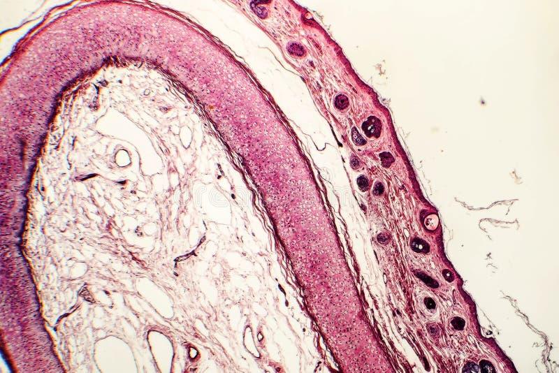 Elastisch kraakbeen van menselijk buitenoor stock foto