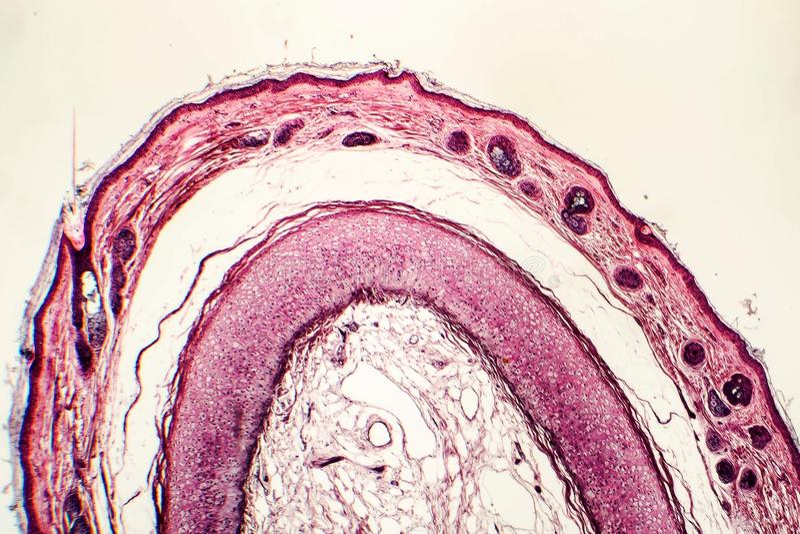 Elastisch kraakbeen van menselijk buitenoor stock afbeeldingen