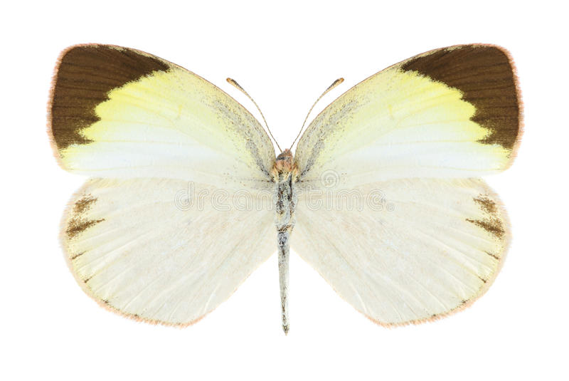 Elathea de Eurema de la mariposa (femenino) fotografía de archivo