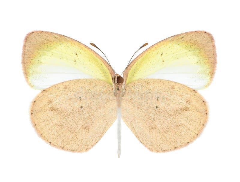 Elathea de Eurema de la mariposa (femenino) (superficie inferior) imagen de archivo