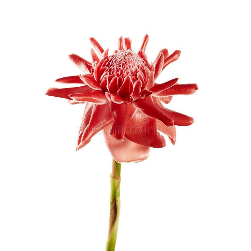Elatior de Etlingera com haste verde, flor vermelha do gengibre da tocha isolada no fundo branco, com trajeto de grampeamento fotos de stock
