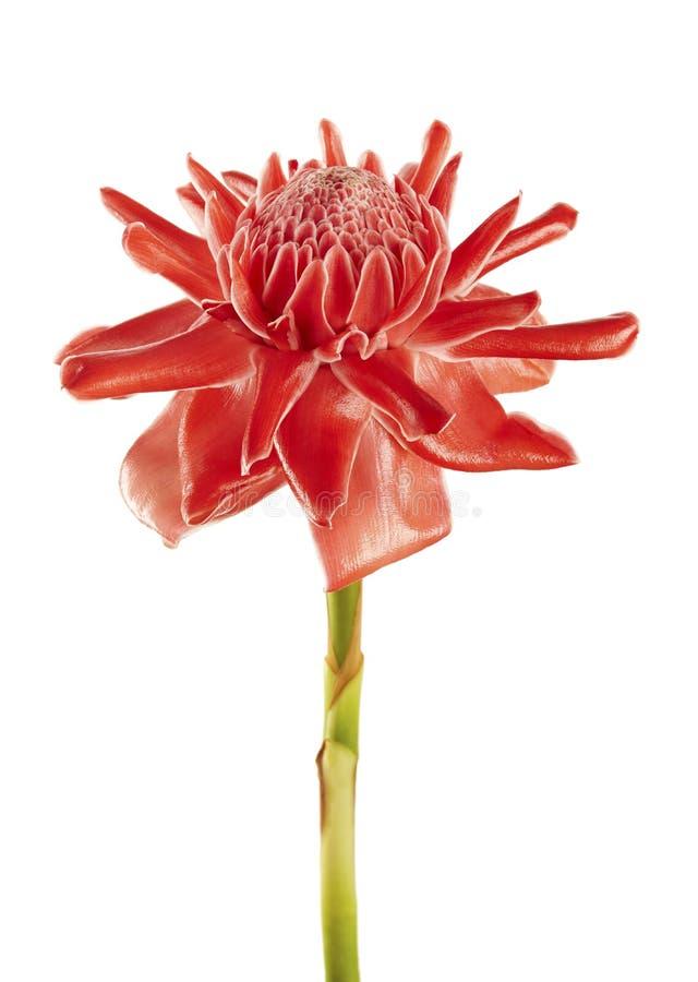 Elatior de Etlingera, flor vermelha do gengibre da tocha isolada no fundo branco, com trajeto de grampeamento imagem de stock royalty free