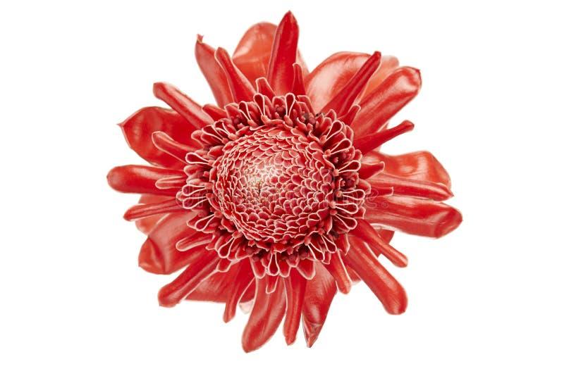 Elatior de Etlingera, flor vermelha do gengibre da tocha isolada no fundo branco, com trajeto de grampeamento imagens de stock royalty free
