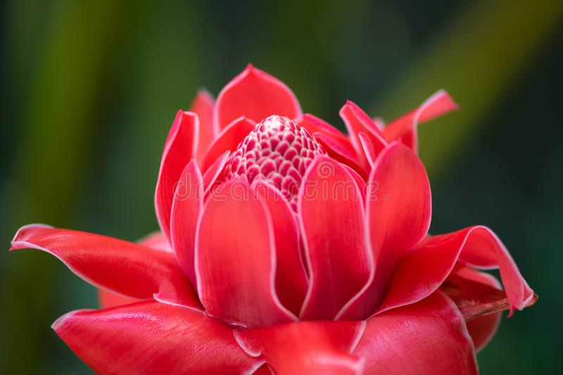 Elatior rouge exotique de Ginger Flower Blossom Etlingera de torche photos stock