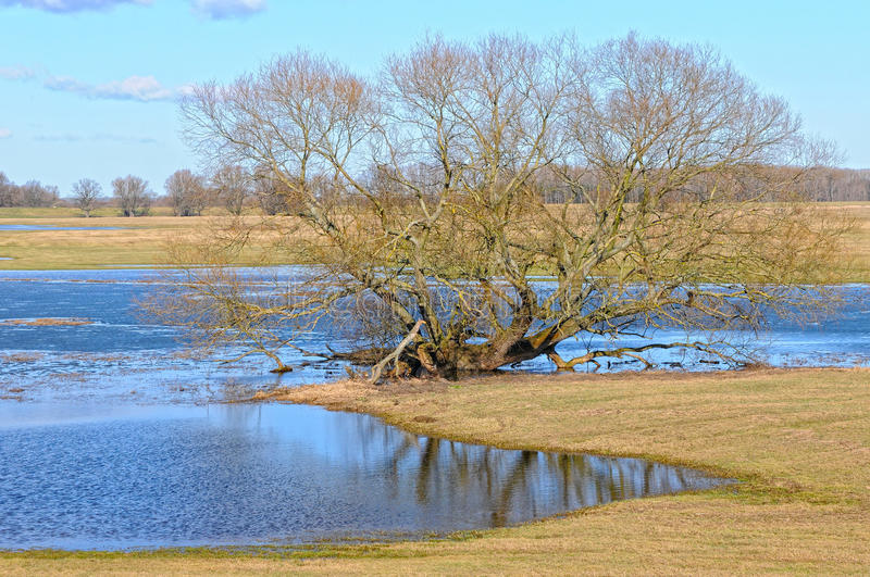 Elbe river meadows in springtime. willow trees.  stock photography