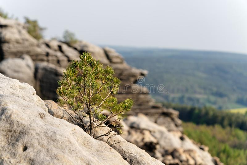 Elbe Sandstone Mountains - Small tree in front of rock formations. Elbe Sandstone Mountains - A small conifer grows out of a crevice, rock formation in the royalty free stock images