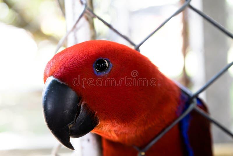 Elcectus papegoja royaltyfri bild