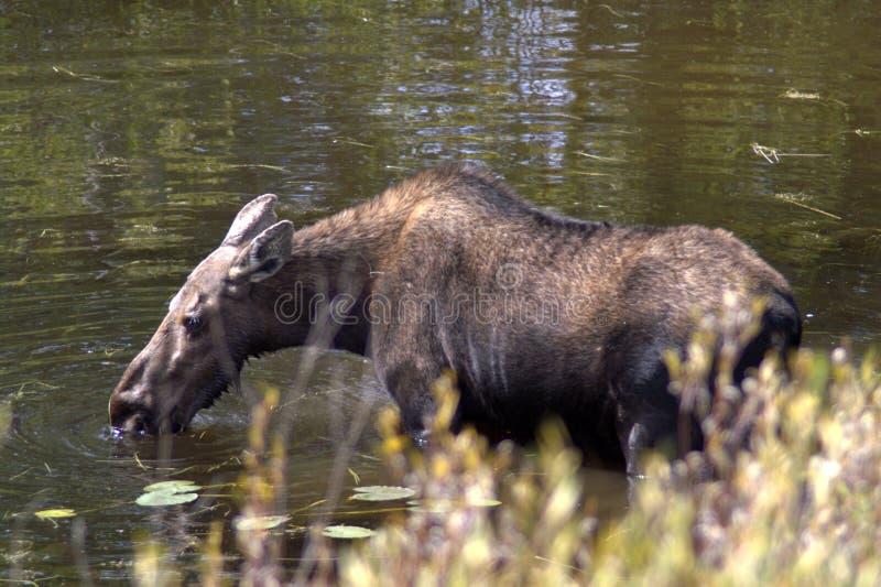 Elch trinkt Wasser vom See im Wald lizenzfreie stockfotos