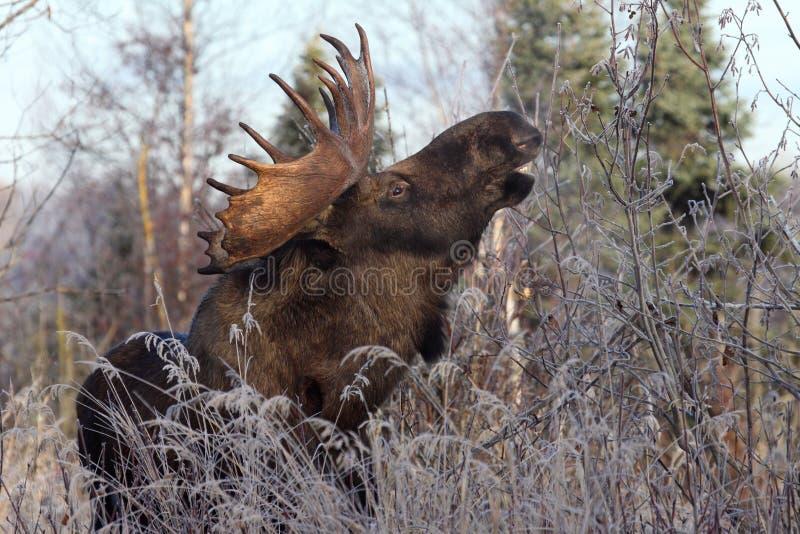 Elche Alaska-Bull lizenzfreie stockfotos
