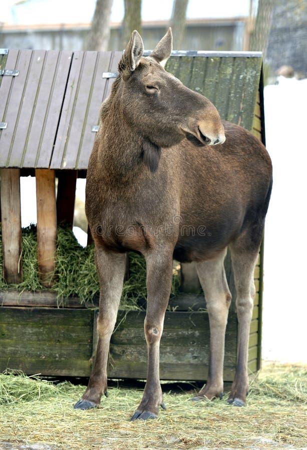 Elche, Alces Alces, größte extant Spezies in der Rotwildfamilie Bewölkter Frühlingstag lizenzfreie stockbilder