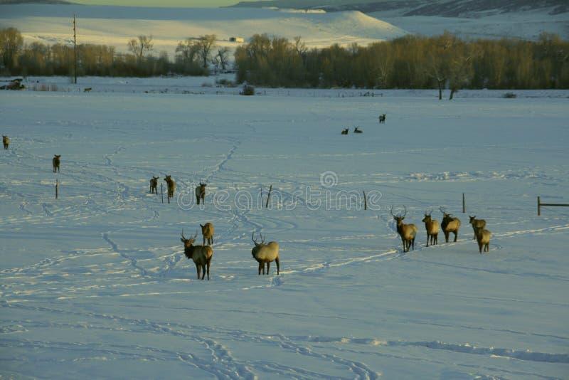 Elche im Schnee lizenzfreie stockfotografie
