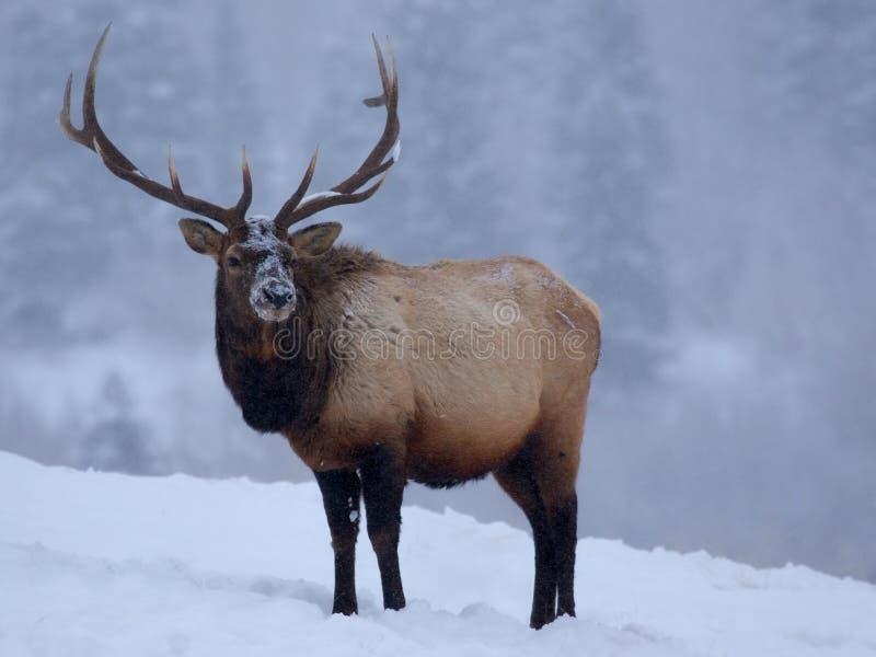 Elche im Winter stockfotos