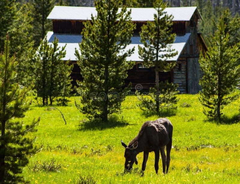 Elche in Rocky Mountain National Park stockbild