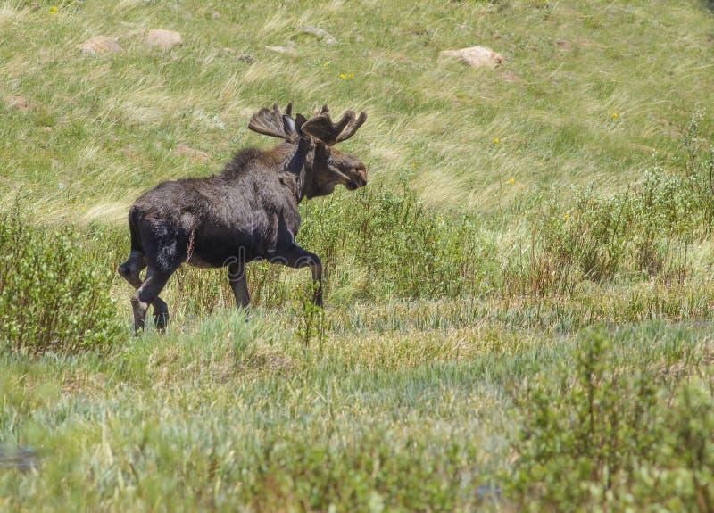 Elche in Rocky Mountains stockfotos