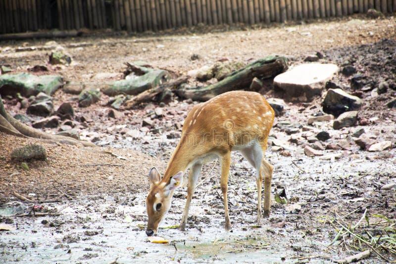 Eld的鹿或Thamin或者眉头鹿角的鹿在笼子在公开同水准 免版税库存照片