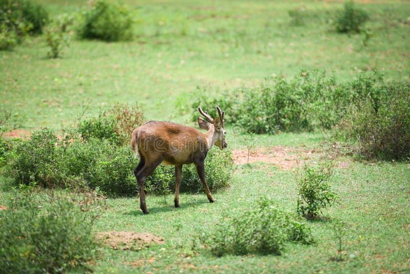 Eld的鹿,Thamin,眉头鹿角的鹿在绿色草甸 库存照片