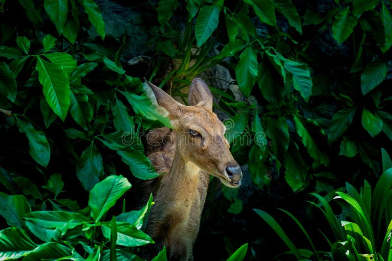 Eld的鹿,Thamin,眉头鹿角的鹿,Panolia eldii 库存图片