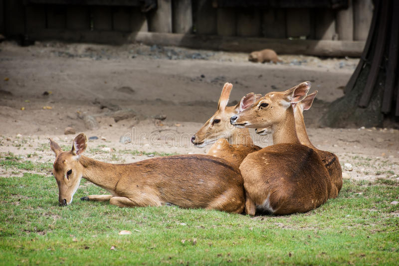 Eld的鹿(Panolia eldii) 免版税库存照片