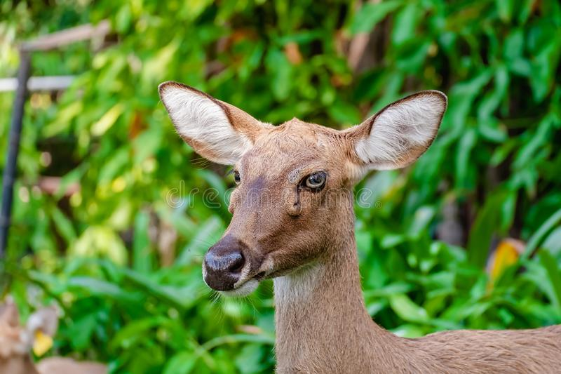 Eld';s鹿(;Rucervus eldii siamensis);反对自然绿色背景 免版税库存照片