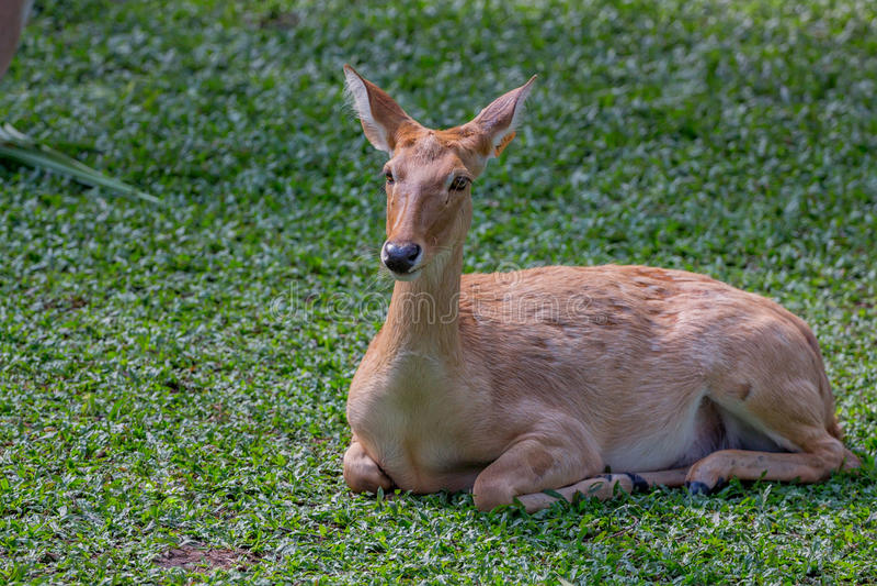 Eld ` s鹿或Panolia eldii 图库摄影
