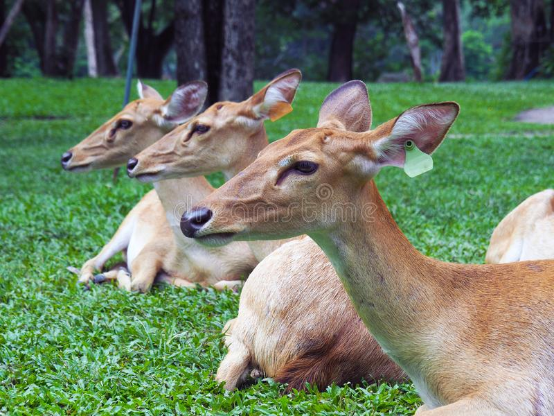 Eld`s deer heads up while sit among their folk in the zoo. Natural background with selective focus stock photography