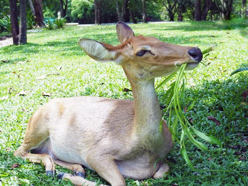 An Eld`s deer sit and eat morning glory on the ground  in the zoo. An Eld`s deer sit and eat morning glory on the ground  in the zoo with natural background stock photography