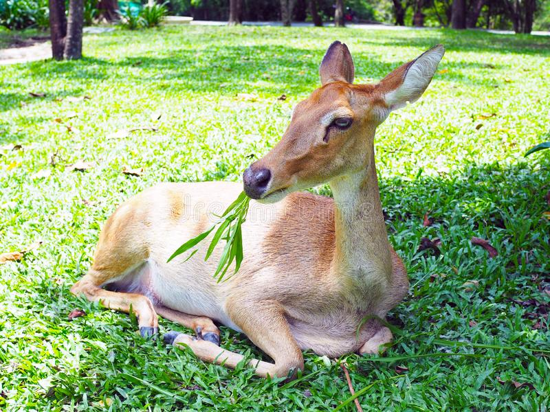 An Eld`s deer sit  on the ground  in the zoo. An Eld`s deer sit  on the ground  in the zoo, with natural background royalty free stock images