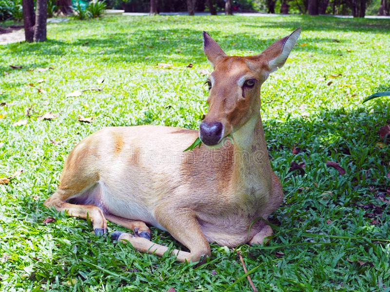 An Eld`s deer sit  on the ground  in the zoo. An Eld`s deer sit  on the ground  in the zoo, with natural background stock photography