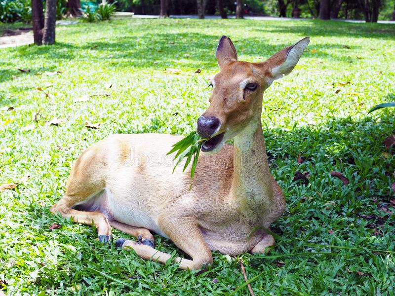 An Eld`s deer sit  on the ground  in the zoo. An Eld`s deer sit  on the ground in the zoo, with natural background stock photo
