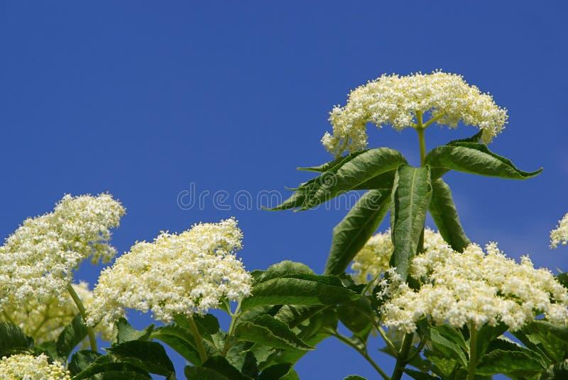 Download Elder 11 stock image. Image of nature, white, branch, twig - 5759393