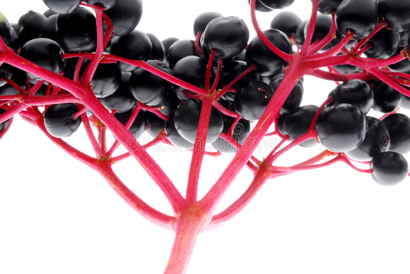 Download Elder stock photo. Image of fruit, berry, marks, moonshine - 3105384