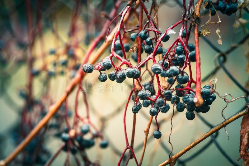 Elder berry stock images
