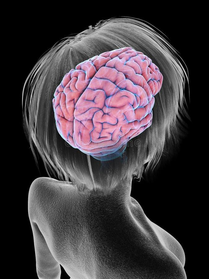 An elder females brain. 3d rendered medically accurate illustration of an elder females brain stock illustration