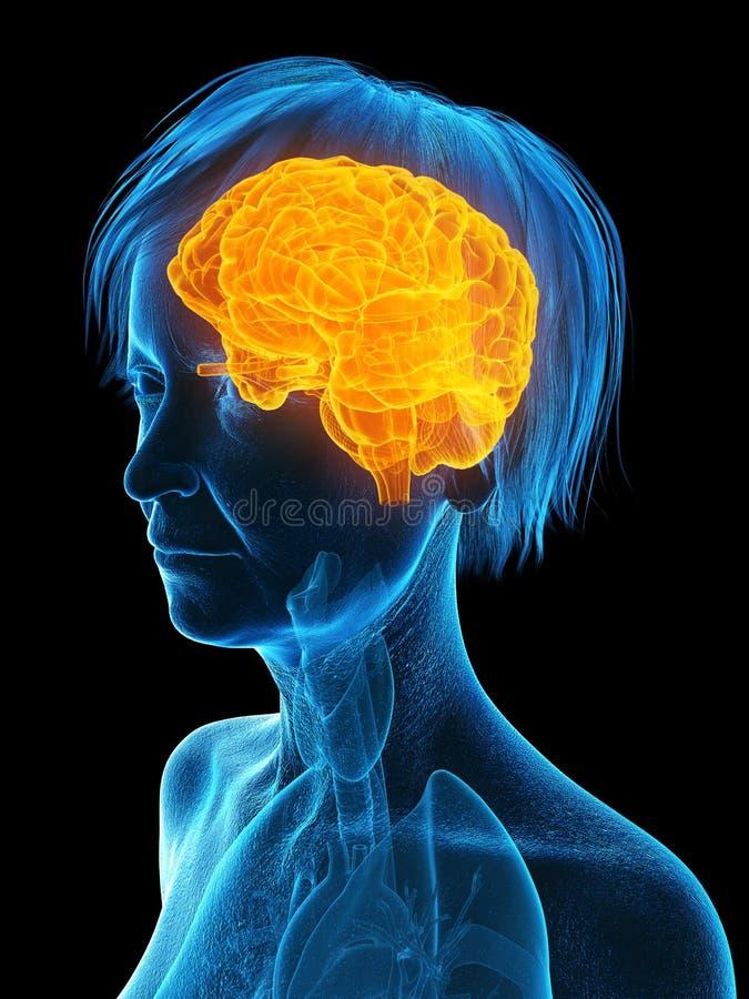 An elder females brain. 3d rendered medically accurate illustration of an elder females brain vector illustration