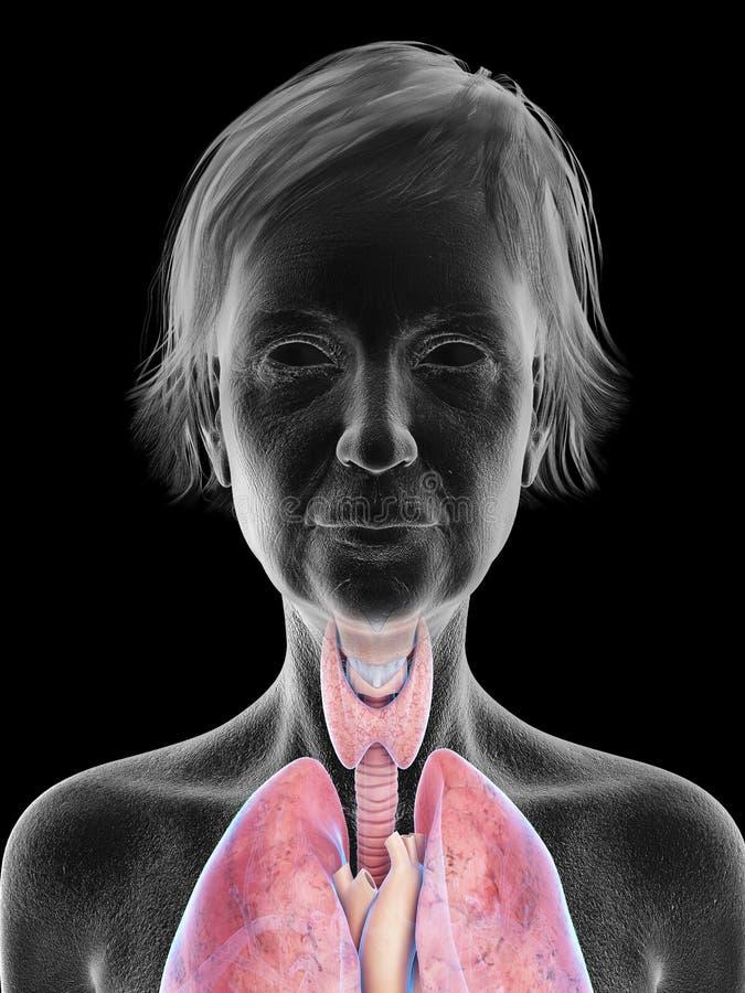 An elder females throat anatomy. 3d rendered medically accurate illustration of an elder females throat anatomy vector illustration