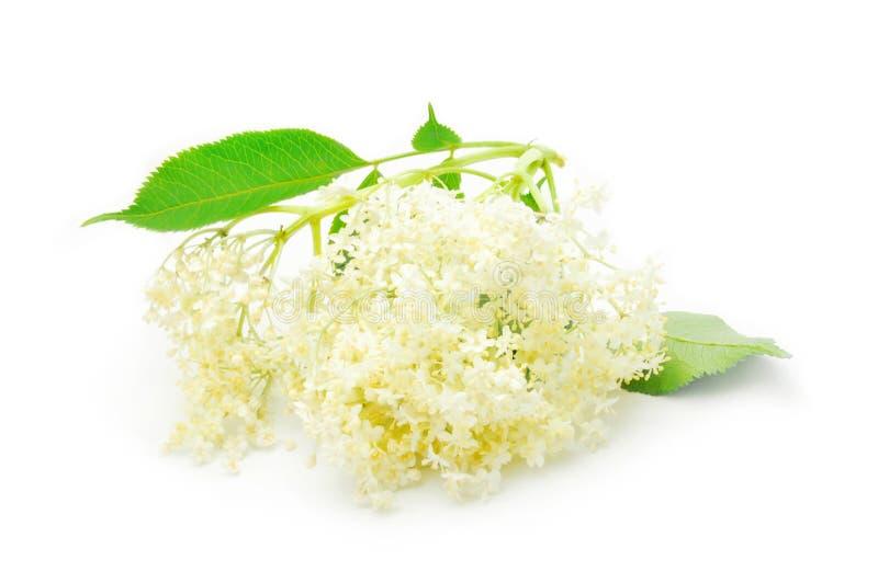 Download Elder flower stock photo. Image of summertime, sambucus - 14812130