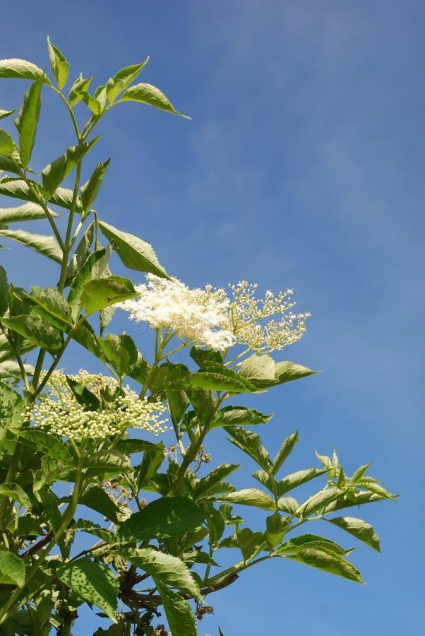 Elder flower stock image