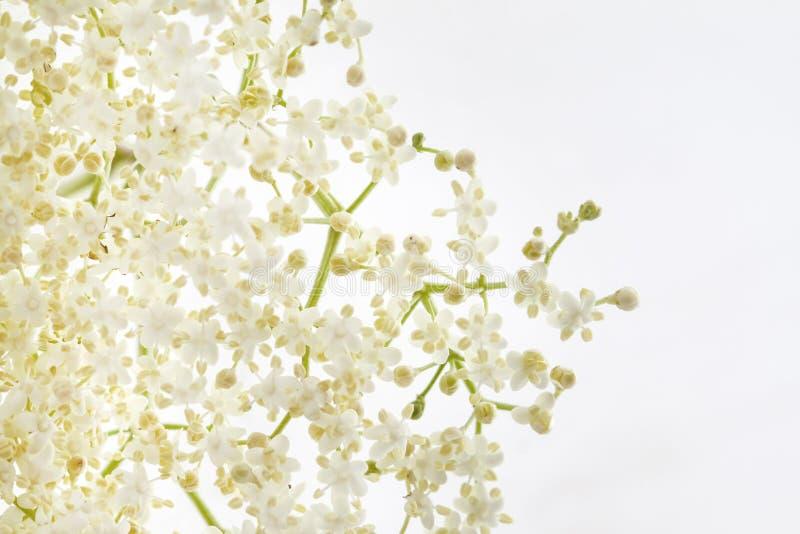 Elder flower royalty free stock images