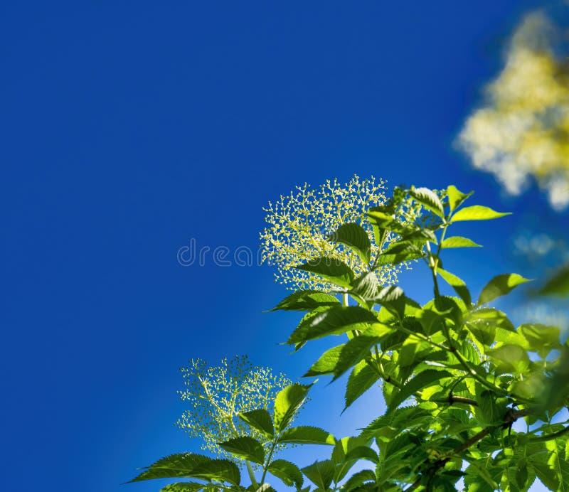 elder flower in a meadow stock photos