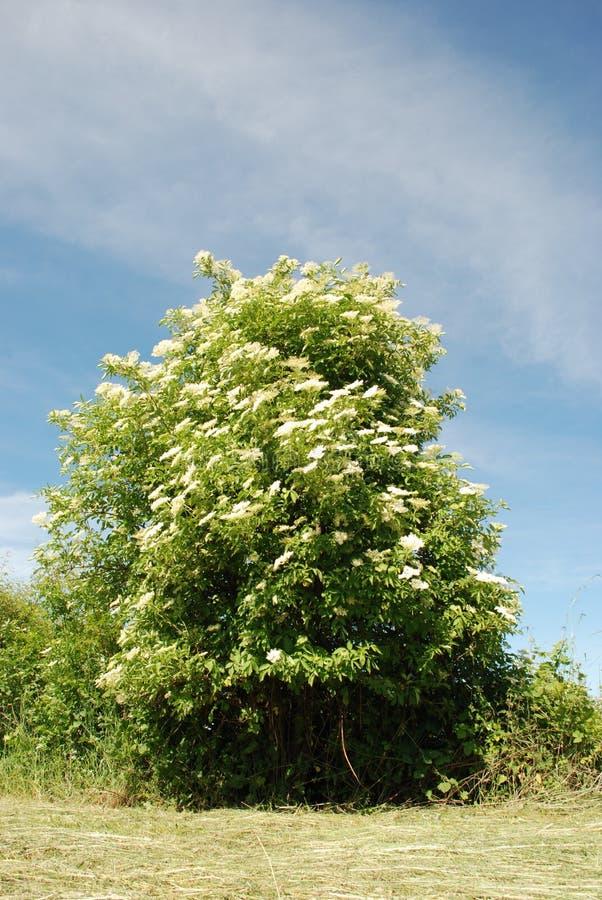 Elder flower tree royalty free stock image