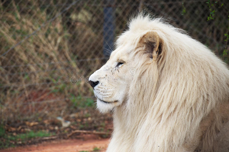 Elder white lion. Portrait of a old white lion in profile stock photography