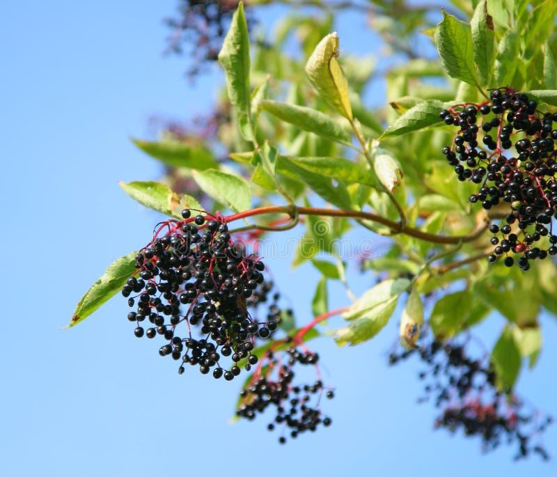 elderberries στοκ φωτογραφία
