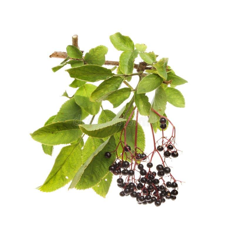 elderberries foto de stock royalty free