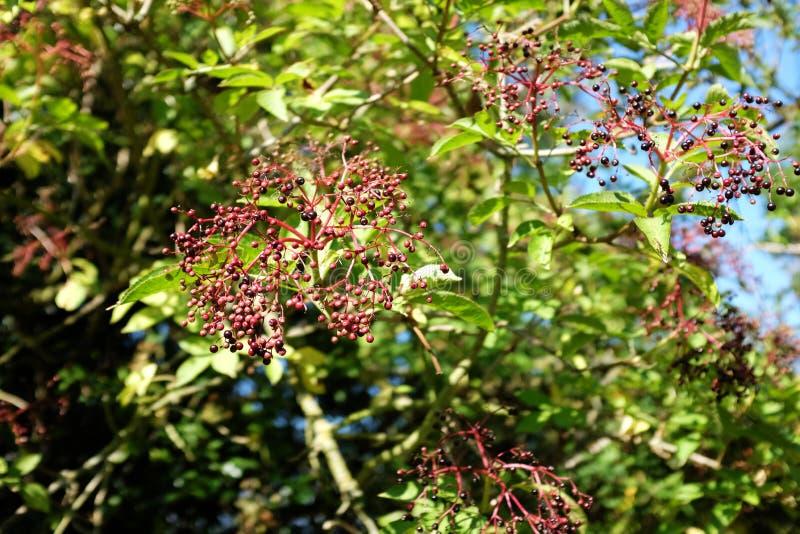 Download Elderberries Growing On An Elder Stock Image - Image: 33246647
