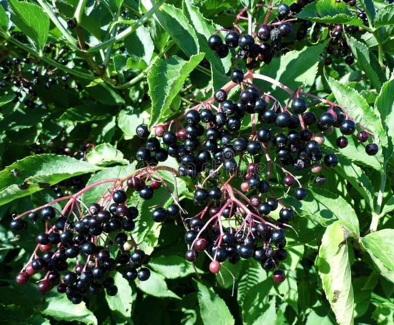 Elderberries - Sambucus στοκ φωτογραφία με δικαίωμα ελεύθερης χρήσης