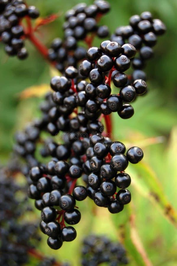 elderberry καρπός στοκ εικόνα