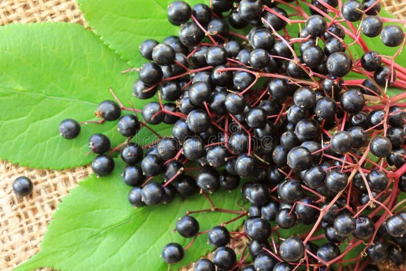 Elderberry (μούρα Sambucus) στοκ εικόνες με δικαίωμα ελεύθερης χρήσης