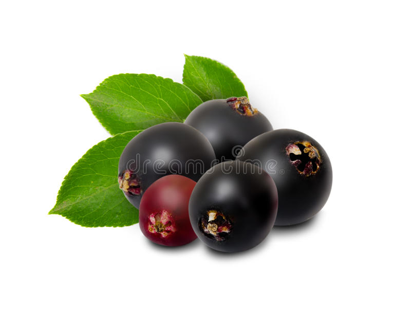 elderberry изолировал стоковое фото rf