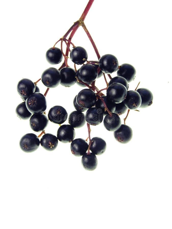 elderberry στοκ εικόνες